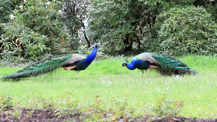 two peacocks ready to fight