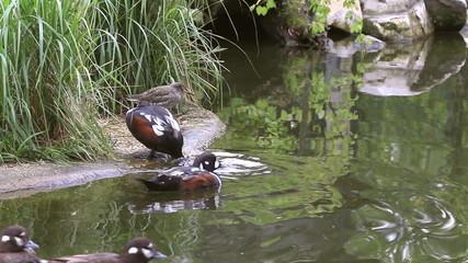 Harlequin duck coming ashore