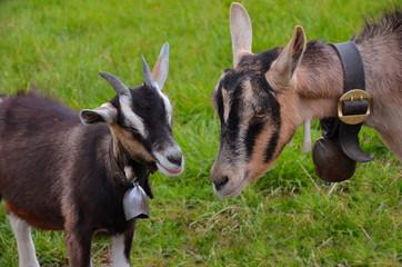 Ziege und Jungtier