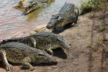 Crocodiles in the lagoon, Cuba