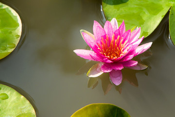 The Pink Lotus in Pond