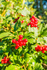 Bright red  berries with dewdrops