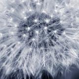 dandelion - 69408432