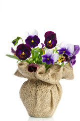 Beautiful pansies in a vase isolated on white background