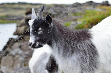 Коза на высокогорном пастбище