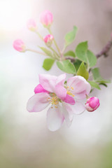 branch of blooming apple trees