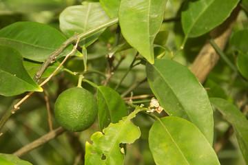 green leaves of the lemon tree with lemon