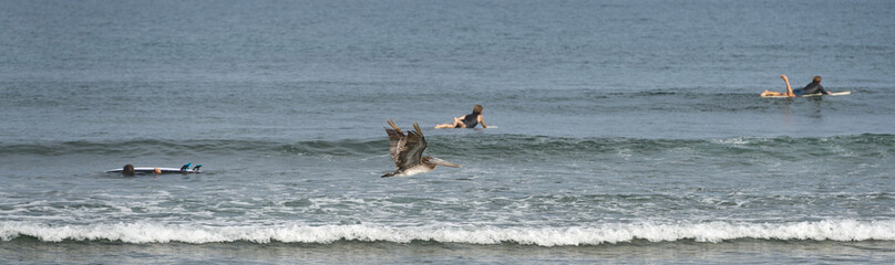 Pelican while flying near surfers on california beach