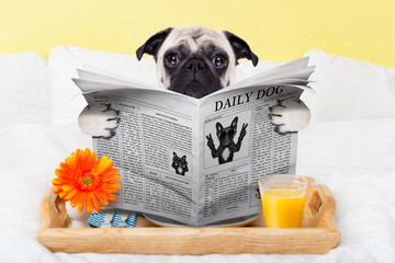 pug dog newspaper