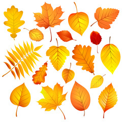 Autumn leaves. Vector illustration