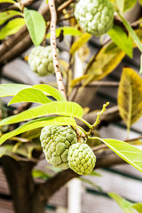 close up Annona squamosa or custard apple fruite on the tree
