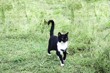 Black and white cat on a green background
