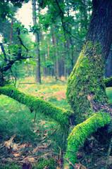 oak with moss