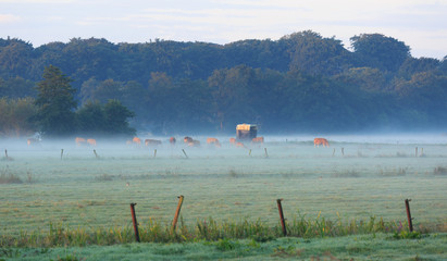 Cows in the foggy countryside during sunrise.