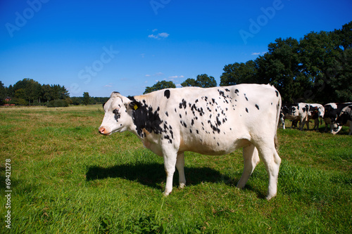 canvas print picture cow