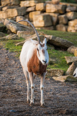 One-horned oryx