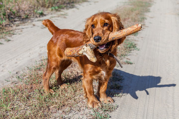 English Cocker Spaniel playing with stick spruce