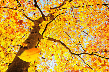 beech tree in autumn with falling leaf