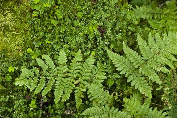 Leaves of green fern