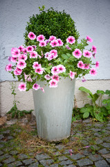 boxwood and petunia flowers in a pot in front of a house wall
