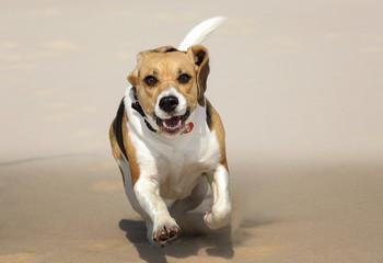 Zwierzęta, Beagle pies