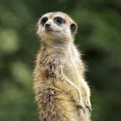 Zwierzęta, Surykatka, (Meerkat)