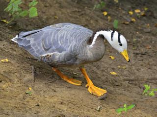 Zwierzęta, Gęś Indyjska  (Anser indicus)
