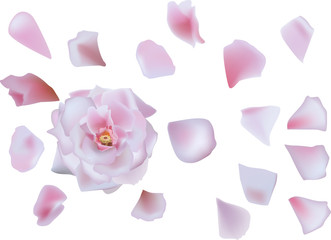 single pink rose flower with petals isolated on white