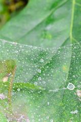 cobweb with water drops