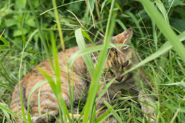Tabby cat lying on the grassland.