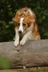 Collie springt über Baum