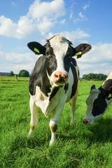Neugierig blickende, schwarzbunte Kuh
