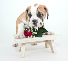 Bashful Bulldog Puppy