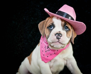 Cowgirl Bulldog Puppy