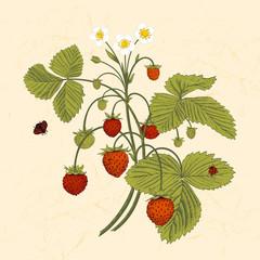 Bush of wild strawberries. Vintage vector illustration.