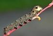 canvas print picture - Raupe des Mittleren Weinschwärmers (Deilephila elpenor)
