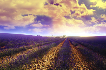 lavender field in south of france