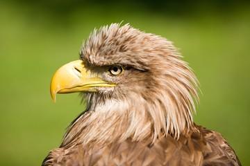 White tailed eagle,