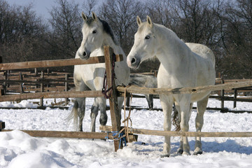 Thoroughbred white horses in winter corral