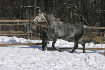 Spotted gray galloping wintertime