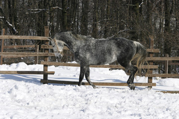 Gray horse bouncing in winter corral