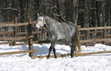Thoroughbred gray horse running in winter corral
