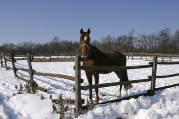 Thoroughbred bay horse in winter corral