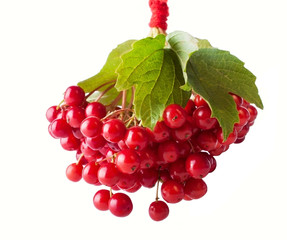 Shiny Red Guelder- Rose Berries
