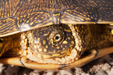 red eared slider turtle in the wild, surrounded by typical flora