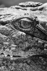 Egypt, Luxor, Nile crocodile