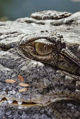 Egypt, Luxor, Nile crocodile (Crocodylus niloticus)