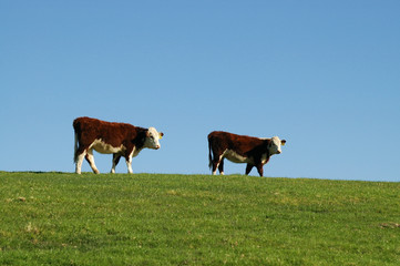 Cows with thick fur on top of hill