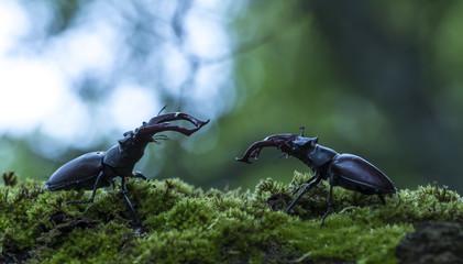 Hostile Stag beetles, Lucanus cervus