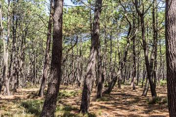 Forêt de pin des Landes